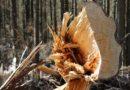 28. 2. 2020 Spadený strom Žernovník